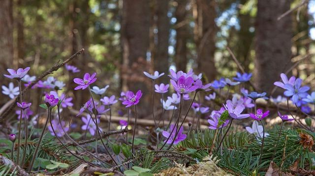 синий анемон, печёночница благородная, несколько цветов