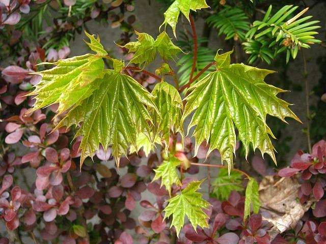 весна, молодые листья клена, развития