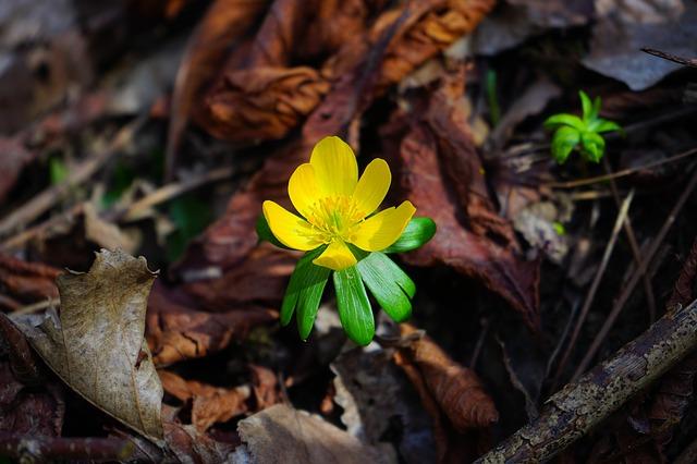 winterling, цветок, цвести