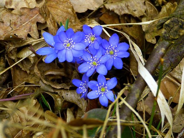 хепатика, цвести, печёночница растение nobilis
