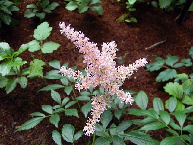 астильба, розовая астильба, цветение