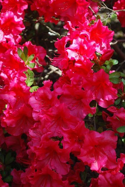 азалии, розовый, весна
