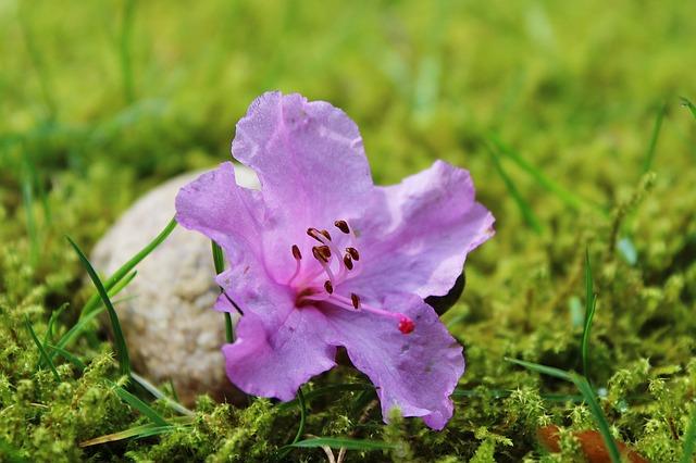 азалия, цвести, пурпурный
