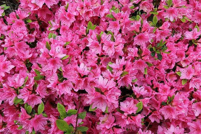 азалия, цветет, розовый