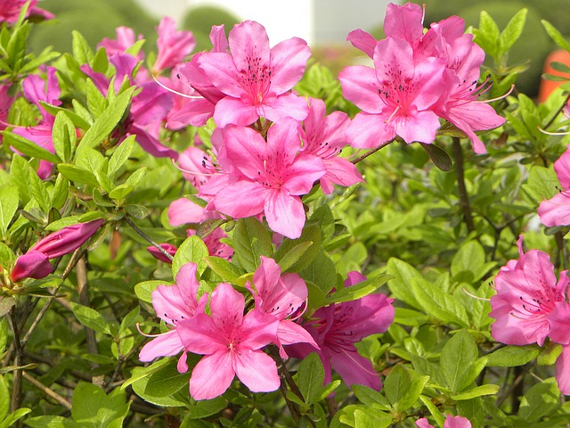 азалия, цветы, весна