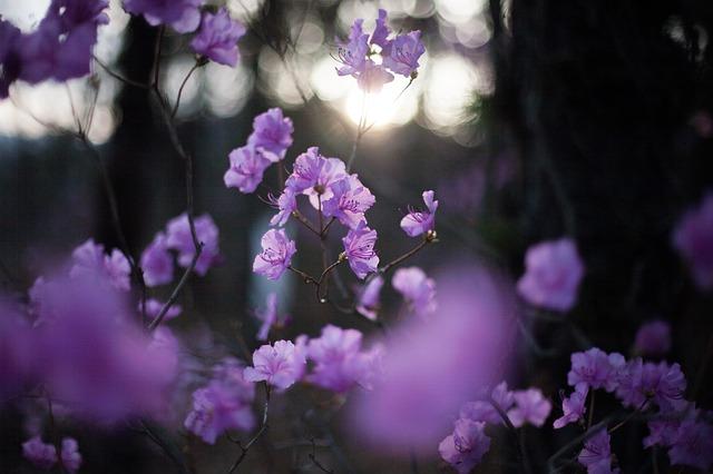 азалия, весенние цветы, цветы