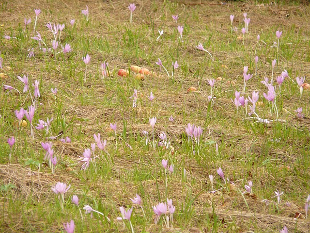 цвести, пурпурный, herbstzeitlose