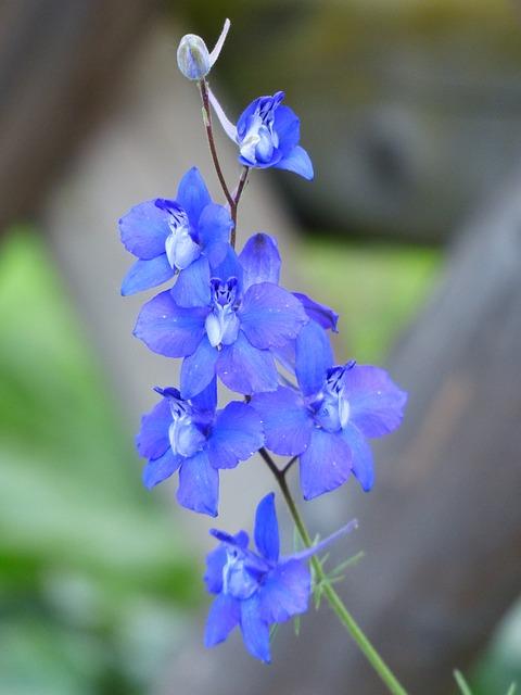 цветок, цвести, синий