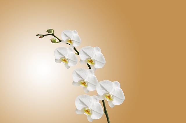 цветок, орхидея, природа