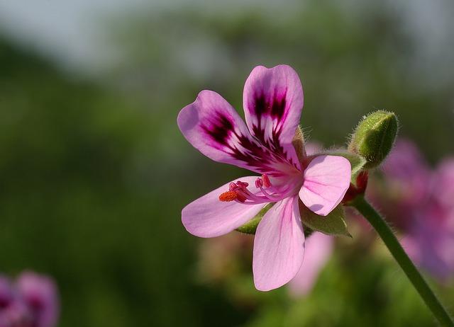 цветок, пеларгония герань, герань