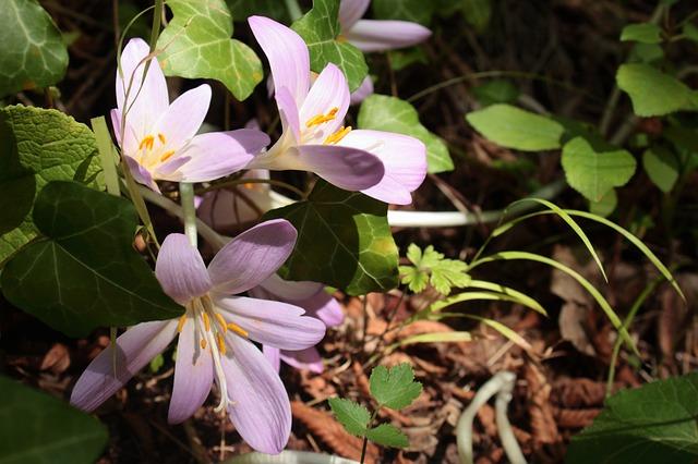 цветок, природа, безвременник