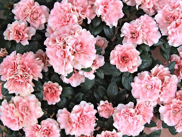 цветы, азалия, розовые цветы