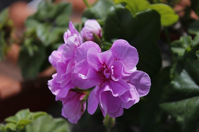 цветы, цветок цвет розовый, весна
