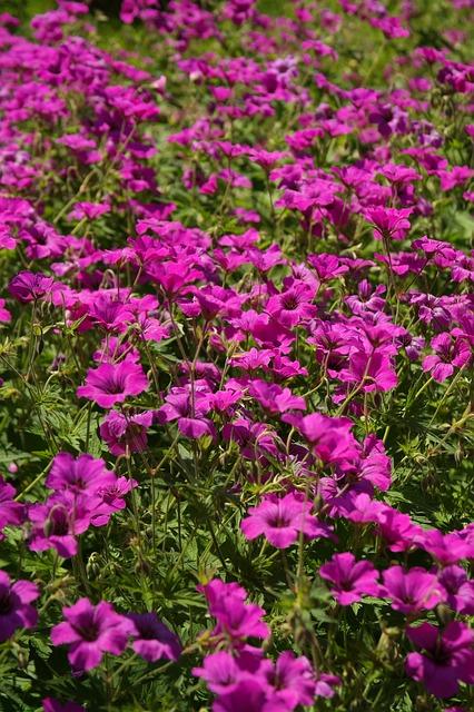 герань, цвести, розовый