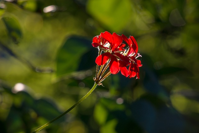 герань, цветок, цвести