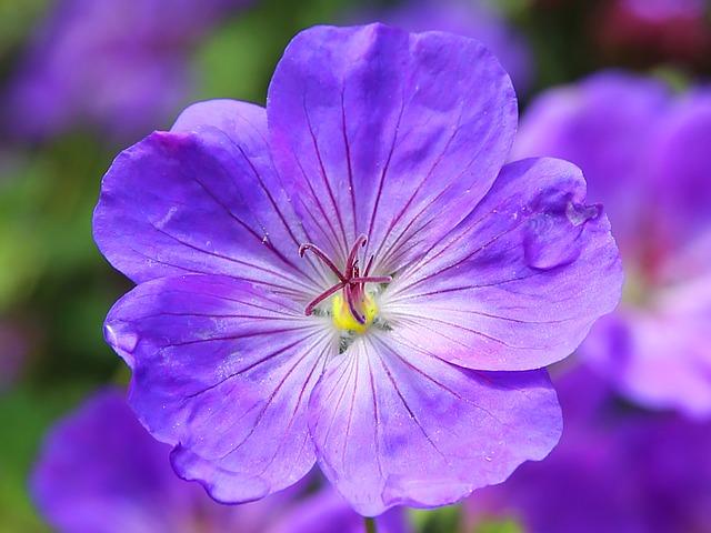 герань, цветок цветок, синий