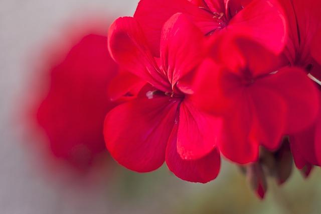 герань, цветок, цветы