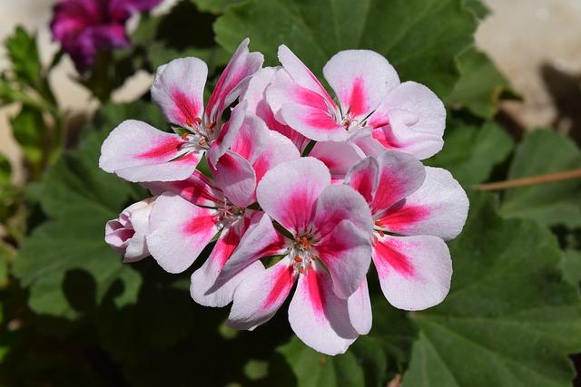 герань, цветок, пеларгония герань