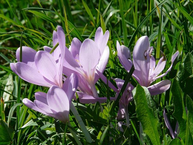 herbstzeitlose, цветок, цвести