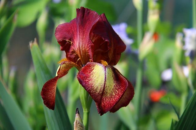 ирис, бордовые цветы, сад