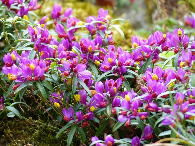истод chamaebuxus, цвести, пурпурный