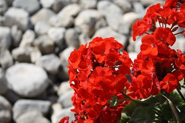 красный, цветок, камни