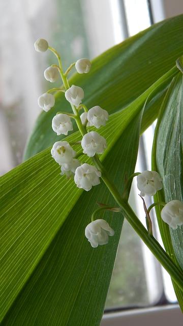 ландыш, белый цветы, весна