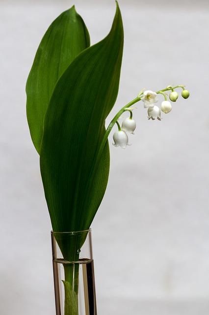 ландыш, convallaria majalis, весна