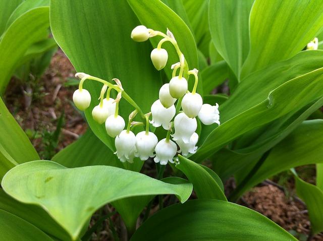 ландыш, цветы, природа