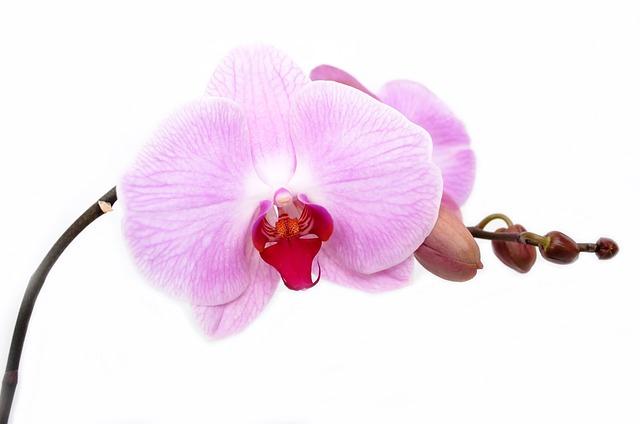 орхидея, цветок, изолированных