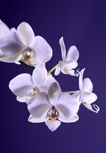 орхидея, цветок, завод