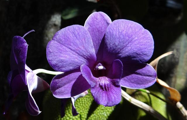орхидея, дендробиум, фиолетовый