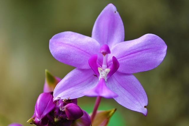 орхидея, фиолетовая орхидея, сад