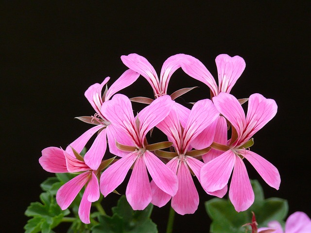 пеларгония герань, блум, цветок