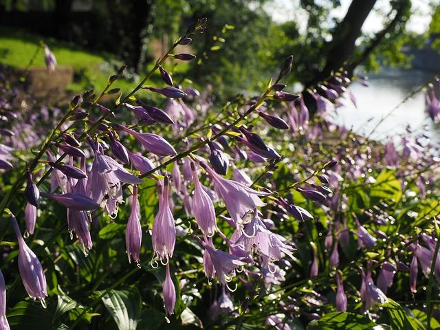 подорожник лили, цветы, фиолетовый