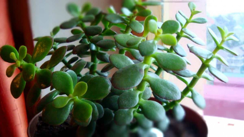 комнатные растения толстянка
