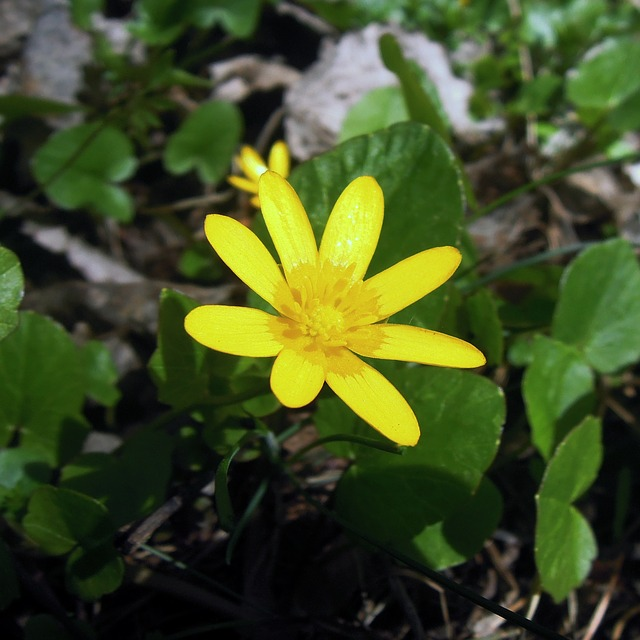 весенник, эрантис зимний, цветок