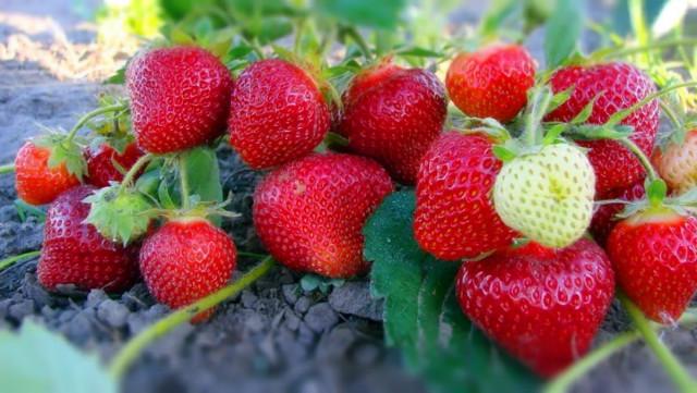 Выбираем участок под ягодники в зависимости от освещенности