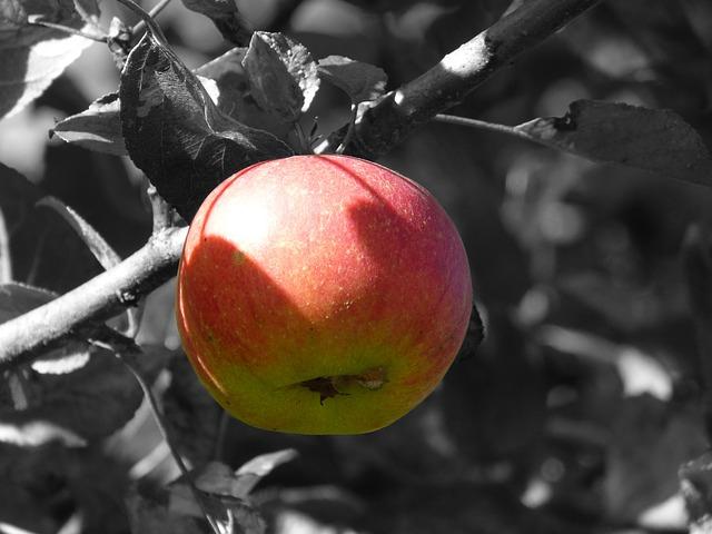 apple, фруктов, яблоня