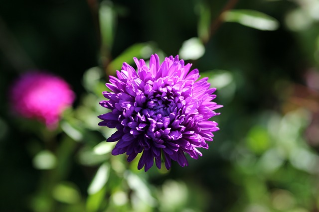 астра, цветок, фиолетовый