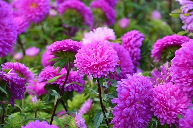 астра, цветок, розовый