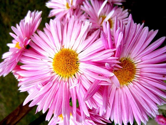 астра, цветы, приносить