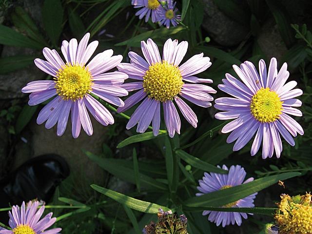астра koraiensis, цветы, республика корея