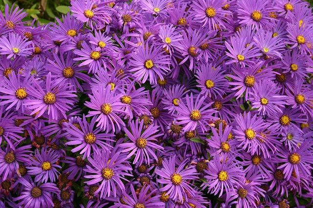 астры, цветы, фиолетовый