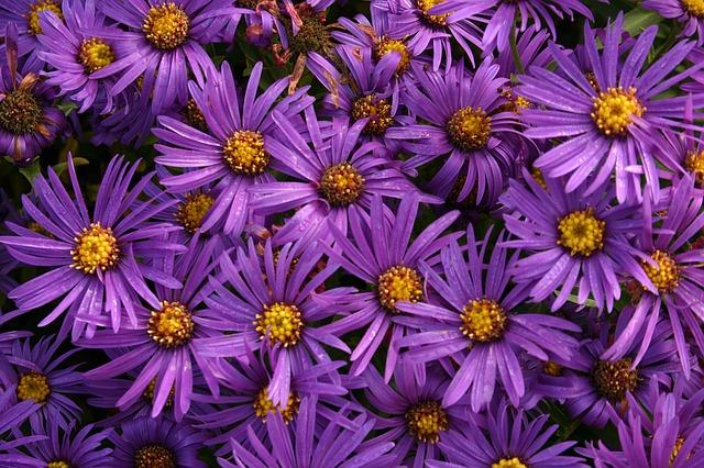 астры, цветы, маргаритка