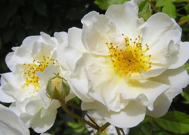 белая роза, природы, цвести