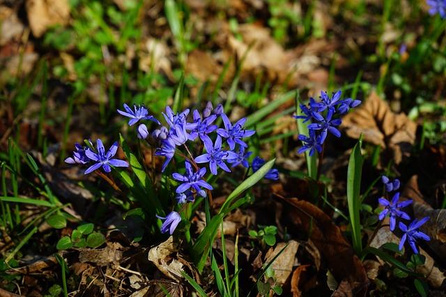 blue star, шилла, цвести