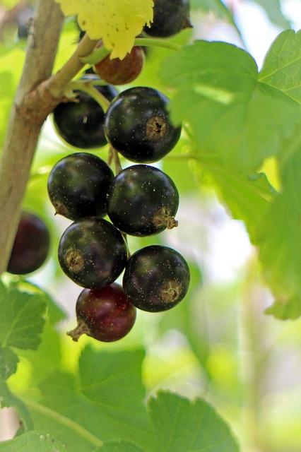 черная смородина, ribes nigrum, фруктов