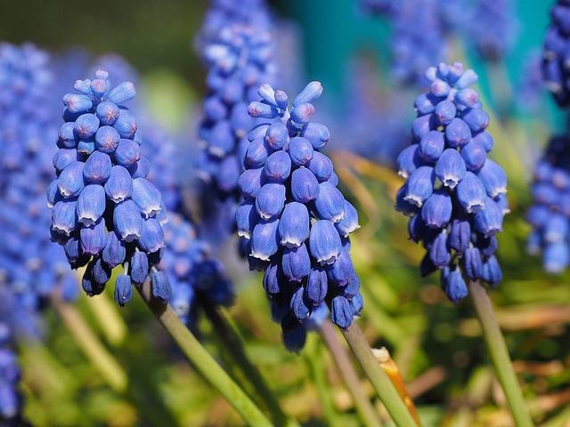цвести, цветок, синий