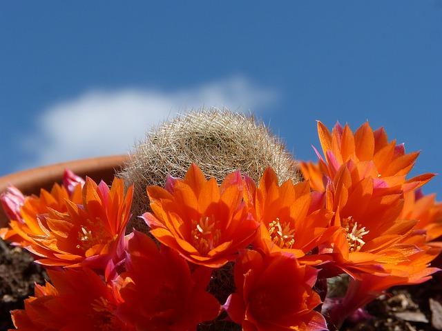 цветение кактуса, цветок, небо